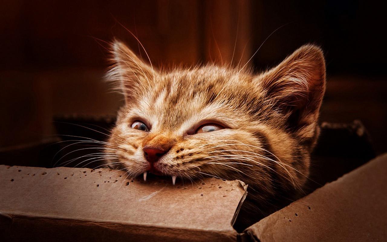 cat-bites-cardboard-wide