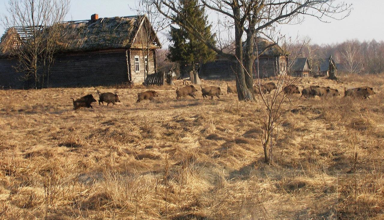 Wild-boar-in-former-village-ValeriyYurkores