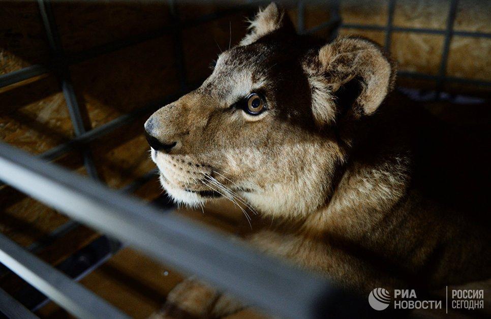 """В сентябре в одном из частных зоопарков Челябинской области была обнаружена львица Лола. Содержание животного было неудовлетворительным. Из-за заболевания львицу хотели усыпить, но местные активисты спасли и выходили ее. После этого Лолу решили отправить в место, приближенное к естественной среде обитания хищника. Первым, кто согласился принять животное, стал крымский сафари-парк """"Тайган""""."""