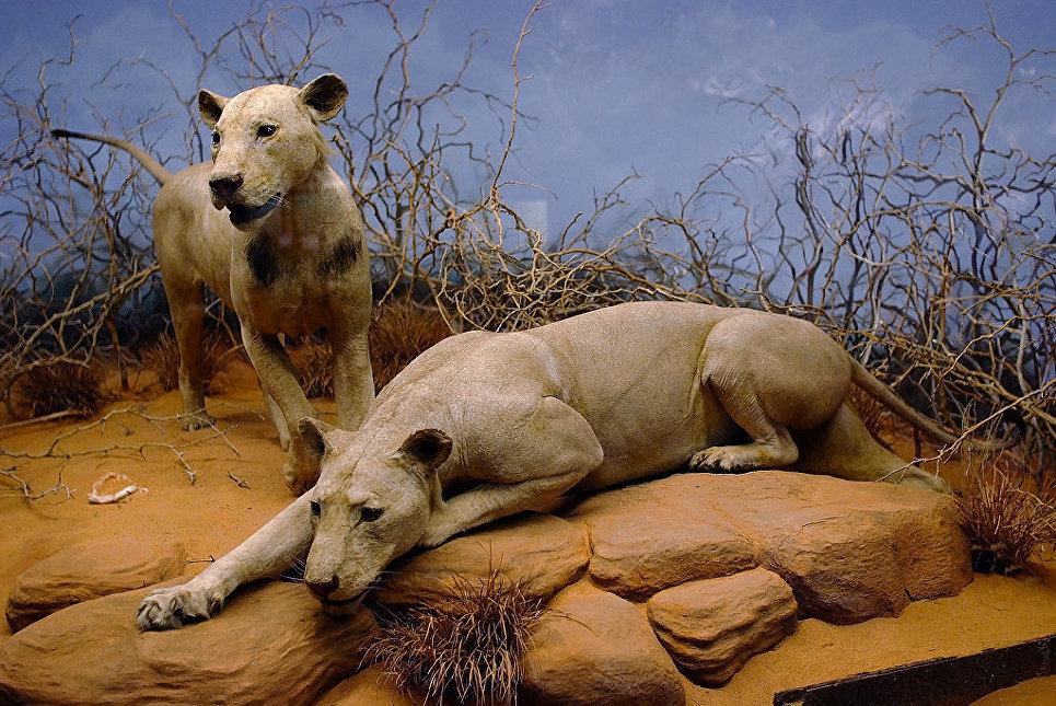 Львы-людоеды из Цаво, репродукция в Полевом музее естественной истории в Чикаго