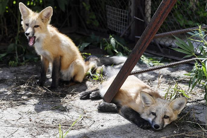 NOVOSIBIRSK, RUSSIA - JULY 14, 2017: Domesticated foxes seen in an enclosure at an experimental farm of the Institute of Cytology and Genetics of the Siberian Branch of the Russian Academy of Sciences. The research area of the Institute is domestication of fur animals as an evolutionary issue. Kirill Kukhmar/TASS  Ðîññèÿ. Íîâîñèáèðñê. 14 èþëÿ 2017. Îäîìàøíåííûå ëèñû â âîëüåðå íà ýêñïåðèìåíòàëüíîé çâåðîôåðìå Èíñòèòóòà öèòîëîãèè è ãåíåòèêè ÑÎ ÐÀÍ, îñíîâíûì íàó÷íûì íàïðàâëåíèåì êîòîðîãî ÿâëÿåòñÿ èññëåäîâàíèå äîìåñòèêàöèè ïóøíûõ æèâîòíûõ â êà÷åñòâå ýâîëþöèîííîé ïðîáëåìû. Êèðèëë Êóõìàðü/ÒÀÑÑ