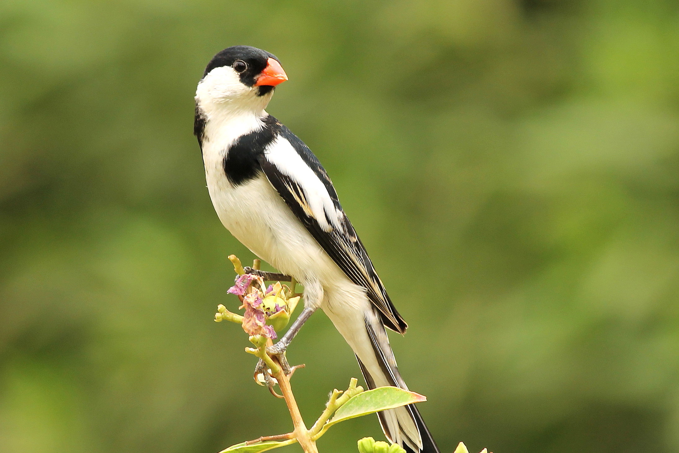pin-tailed-whydah1
