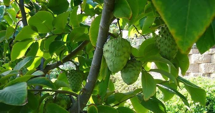 فاكهة القشطة بالانجليزي كنج كونج 2